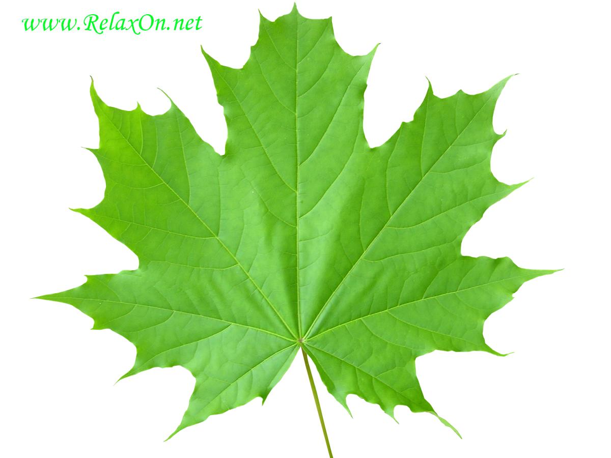 Трафарет кленовых листьев-8