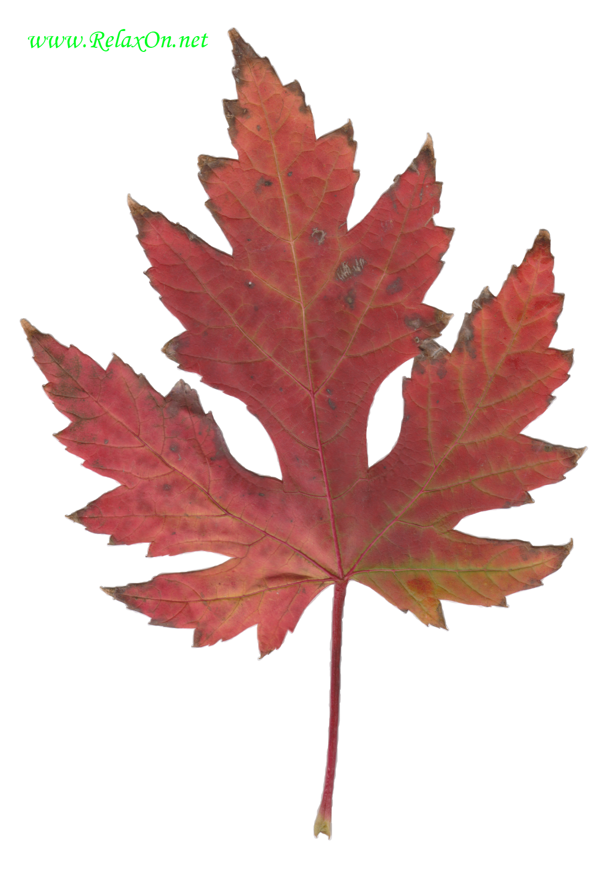 Трафарет листьев клена-2